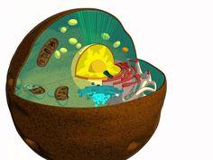 Cellula animale