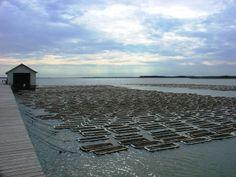Oyster farm, Cambridge, MD Aquaculture Program