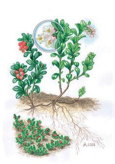 Brusnice brusinka - Tipy do lesa - Vojenské lesy a statky dětem Colorful Plants, Biology, Roots, Drawings, Homeschooling, Illustration, Nature, Trees, Straws