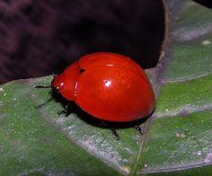 Fungus beetle (Aegithus aff melaspis, Erotylidae), BCI, Panama