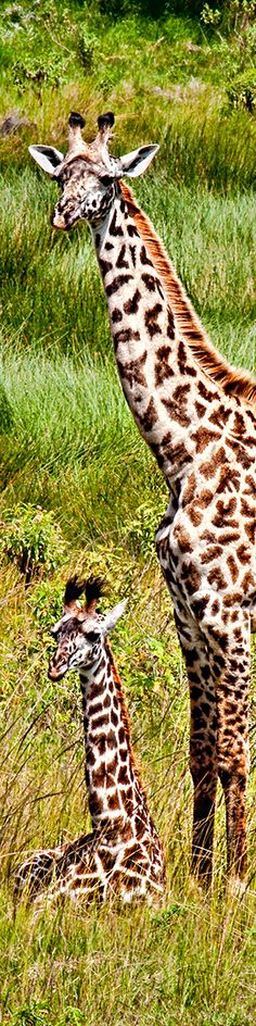 Giraffe and baby in Arusha National Park in Tanzania cropped for Pinterest. www.godcall.net