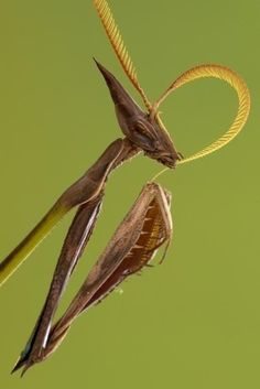 モザンビークで見つかったという新種のカマキリ。ラスボス感ハンパない