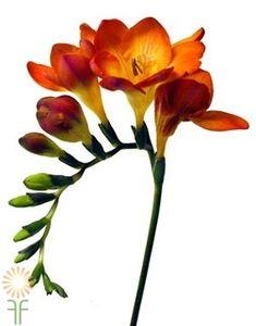 Orange Freesias | Wholesale Flowers & DIY Wedding Flowers Flowers Nature, Real Flowers, Beautiful Flowers, Diy Flowers, Seasonal Flowers, Orange Wedding Flowers, Orange Flowers, Orange Weddings, Colorful Flowers