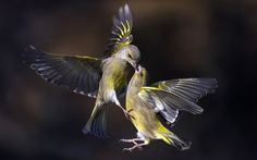 Two green finches fight for food in mid-air in a forest in Trezzo sull'Adda, Italy. The close up photographs were taken by Italian photographer Marco Redaelli. Picture: Marco Redaelli/HotSpot Media