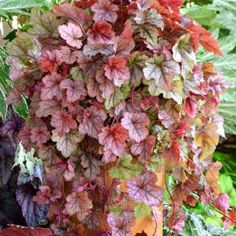 Heucherella 'Copper Cascade' try in planters with something with black leaves. Maybe black pansies in fall. Let this radiant copper foliage fill your hanging baskets and cascade down--the red tones only grow warmer through the summer! Clematis, Shade Plants, Flowers, Foliage, Perennials, Plants, Ground Cover, Heuchera, Trailing Plants