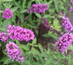 Flutterby™ Petite Tutti Fruitti Dwarf Butterfly Bush