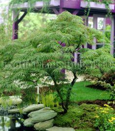 Acer palmatum dissectum Green  - 6 ltr