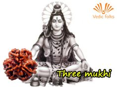 Three Mukhi Rudhraksha  Wearing #ThreeMukhiRudhraksha has a strong impact on one's #chakras in the body. This also facilitates the functioning of liver and stomach. Wear this #rudraksha to live a joyous and trouble free life.