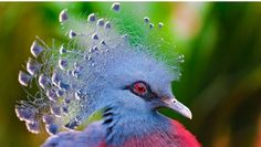 Victoria Crowned Pigeon  ~  Each bird is unique and breathtaking in it's beauty, and each bird presents us with legend and lore that can gently and mystically teach us about ourselves and the magical universe we call home...