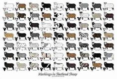 Colours and markings of Shetland Sheep