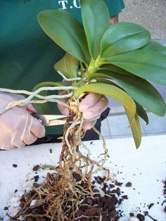 Comment rempoter une orchidée.                                                                                                                                                     Plus
