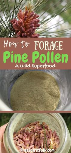 Did you know that pine pollen is edible? Foraging Pine Pollen does take some time but it is an easy process. The benefits are three fold as this nutritive substance is actually a wild superfood. Learn all about how to forage, preserve and use this edible. Cold Home Remedies, Natural Health Remedies, Herbal Remedies, Superfood, Edible Wild Plants, Ginger Benefits, Wild Edibles, Survival Food, Survival Prepping