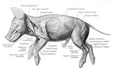 Fetal Pig Muscles by Stephen Gilbert