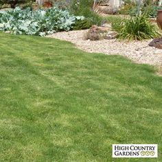 Cynodon hybrida Dog Tuff | Dog Tuff Cape Buffalo Grass | Low Water Plants, Eco Friendly Landscapes | High Country Gardens