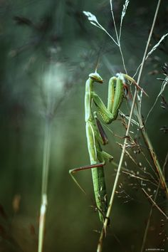Mantis by Philippe PONSIN on 500px