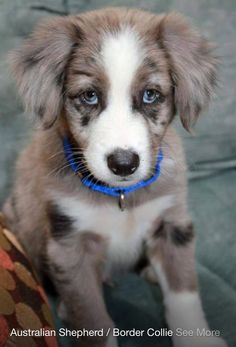 Australian shepher/border collie