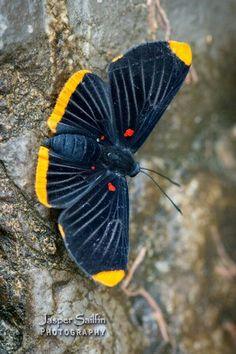 Melanis smithiae