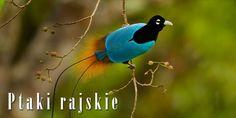 Cudowronki czyli rajskie ptaki | | DinoAnimals.pl