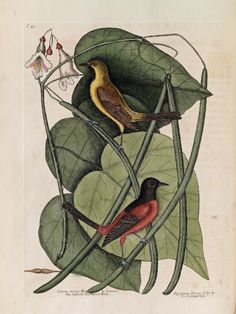 Catalpah, called so by the Indians... by Mark Catesby, from his Natural History of Carolina, Florida and The Bahama Islands, published between 1729 and 1747