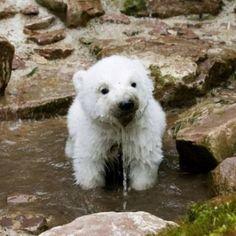 baby polar drinking water    Happy Sharing. PIN, Repin