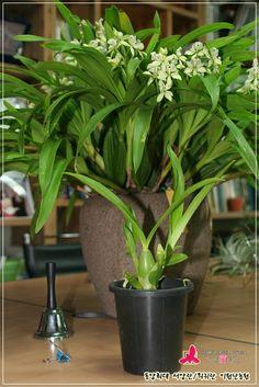 Encyclia fragrans