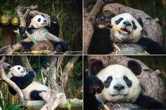 Китай, Гуанчжоу: сафари-парк Chimelong, часть 2 Панда кушает бамбук