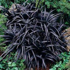 Schwarzer Schlangenbart - Ziergräser                                                                                                                                                                                 Mehr