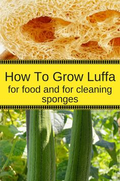 How To Grow Luffa Gourds And Get Natural Sponges Too! How To Grow Luffa Gourds And Get Natural Sponges Too!How To Grow Luffa Gourds And Get Natural Sponges Too!This post may contain affiliate li Aquaponics System, Aquaponics Diy, Permaculture, Natural Sponge, Magic Garden, Box Garden, Garden Beds, Olive Garden, Organic Gardening Tips