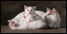 Van colored white and red turkish angora cats - pg.45  Controlla su http://www.zenoarte.com/stampe-poster-roma/ i formati in cui può essere stampata