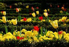 Tulips, Leicester Botanic Gardens