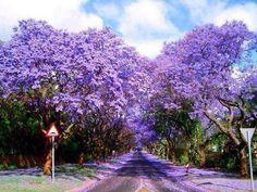 A purple tree-lined road in Sydney, Australia