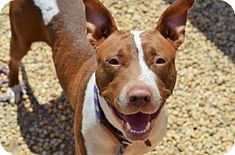 STEPHANIE - URGENT - Animal Care & Control Team of Philadephia in Philadelphia, Pennsylvania - ADOPT OR FOSTER - 1 year old Spayed Female Am. Pit Bull Terrier Mix - Stephanie was brought to the shelter when her former family could no longer afford her but they report she is crate trained, has lived with other dogs and kids of all ages. She loves playing at dog parks and going on walks.