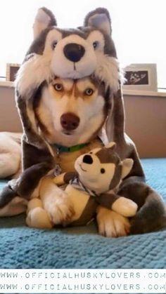 Husky In A Husky costume!