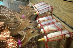 Fawns feed in a pen at the Magnolia home of Texas Wildlife volunteer Janette Winkelmann.    Photo credit: Jerry Baker