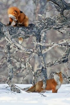 Funny Wildlife, funnywildlife: pair of Red fox,russia. Nature Animals, Animals And Pets, Cute Animals, Baby Animals, Wild Animals, Strange Animals, Beautiful Creatures, Animals Beautiful, Hello Beautiful