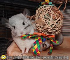 Aiden wants everyone to know the Pinata chew toys are a hit. ;) See this and more at Whimsy's Menagerie & Chinchilla Rescue : www.whimsys-menagerie.com