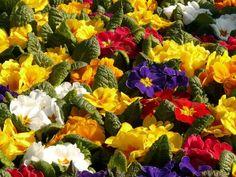 primroses-5781_1280 Primroses, Garden Design, Plants, Gardens, Backyard Landscape Design, Landscape Designs, Planters, Plant, Tuin