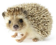 hedgehog drawing - Google Search