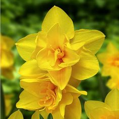 Double Narcissus 'Double Smiles'