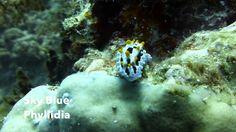 Video Sky Blue Phyllidia | Pata Negra Dive Center Bohol Philippines, Diving, Islands, Sky, Pets, Beach, Blue, Heaven, Scuba Diving