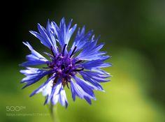 cornflower blue after rain:) - sigma 60 2.8olympus macro converter mcon-p02