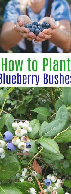 Home Vegetable Garden, Fruit Garden, Garden Plants, Planting Blueberry Bushes, Organic Gardening, Gardening Tips, Indoor Gardening, Beginners Gardening, Container Gardening