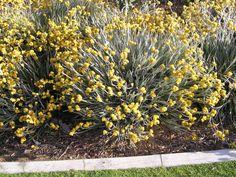Conostylis candicans (Grey Cottonhead) x Landscaping Plants, Garden Plants, Side Garden, Native Plants, Grass, Cactus, Nursery, Herbs, Leaves