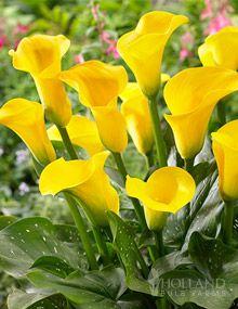 Millennium Gold Calla Lily  14 20i h