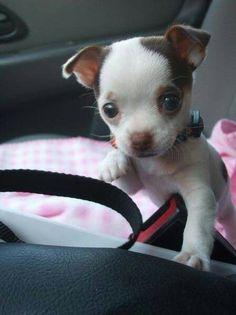Cutest Chihuahua ever!