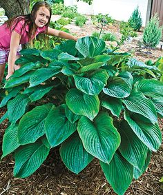 Look at this #zulilyfind! Live Giant Hosta Empress Wu by Michigan Bulb Company #zulilyfinds