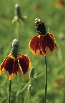 Prairie Coneflower - Mexican Hat  Ratibida columnaris Red and yellow flowers with a long central black cone. Flowering time: July-August. Perennial; 36 inches tall - William Dam Seeds