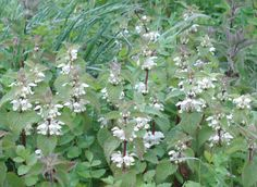 White dead nettle - edible plants for Leopard Tortoise (all) Tortoise Food, Edible Plants, Animal Jewelry, Daisy, Birds, Pets, Animals, Animales, Animaux