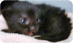 """Romeo"" Breed: Domestic Mediumhair Color: Black (All) Age: Kitten  Sex: Male ID#: 13649573 Hair: Unknown  High Kill in Pasco, WA"