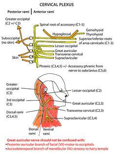 Instant Anatomy - Head and Neck - Nerves - Somatic nerves - Cervical plexus